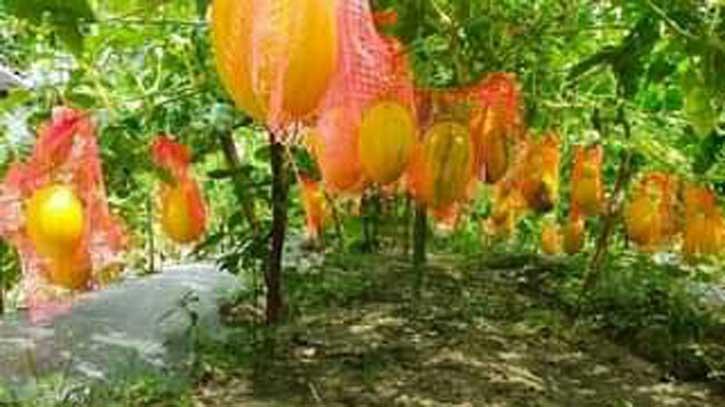 হরিপুরে মাচানে ঝুলছে বাহারি রঙের তরমুজ